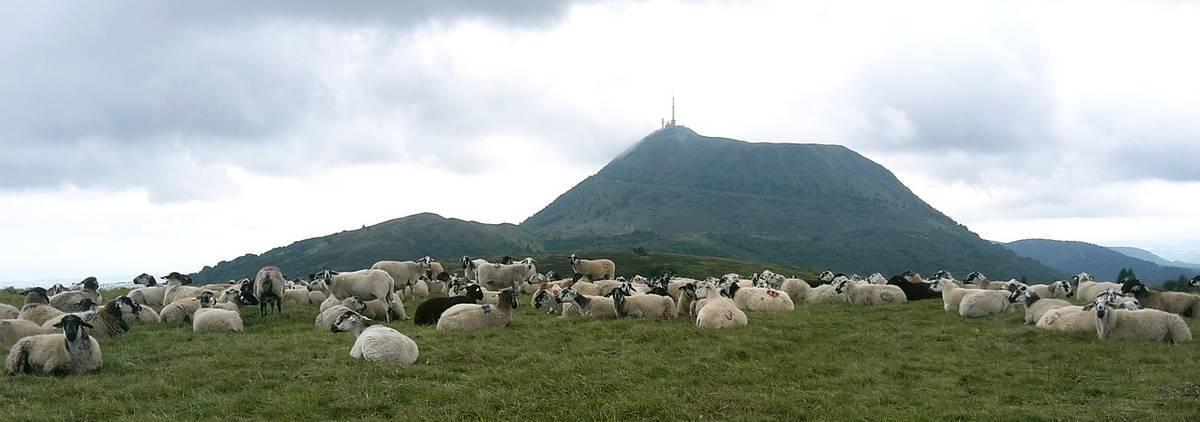 Puy de Dôme mouton